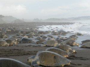 turtles coming onshore