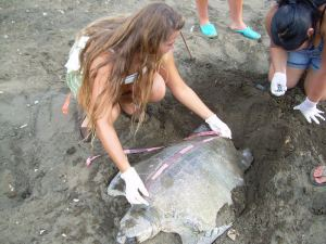 measuring a sea turtle