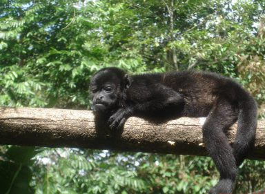 howler monkey hanging out