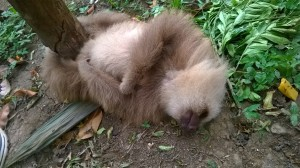 Sloth laying on the ground