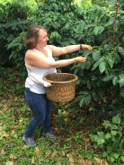 Picking coffee with basket