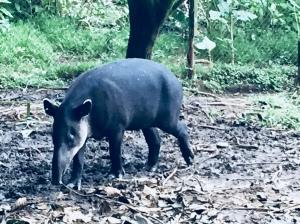 Tapir looking for food